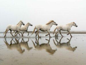 photographie reflet eau chevaux